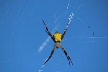 Close Up Banana Spider