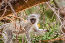 Baby Vervet Monkey Scrambling On A Branch In South Africa