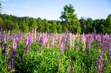 Blooming Wild Lupines In Late Spring.a Field Of Lupins, Illuminated By The Rays Of The Setting Sun
