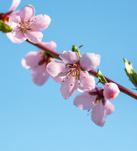 Flowers On A Peach Against A Blue Sky In Spring.