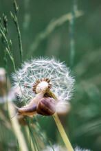 Little Snail On A Dandelion