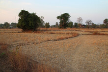 Dried Rice Field At Khone Island In Laos