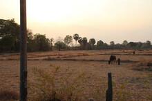 Dried Rice Field At Khong Island In Laos