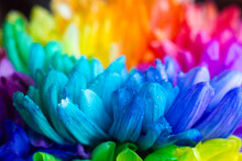 Bouquet Of Colorful Large Chrysanthemums