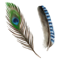 Watercolor Feathers Isolated On White Background. Hand Drawn Peacock Feather