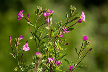 Green Plant With Pretty Pink Flowers And Buds On A Natural Green Background