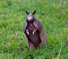Wild Nine-banded Armadillo (Dasypus Novemcinctus), Or The Nine-banded, Long-nosed Armadillo, Is A Medium-sized Mammal, Sitting Up With Claws Exposed, In Green Grass, Curiously Looking At Camera