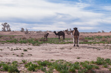 Wild Camel Family With Cubs In The El Gouera Desert In The Sahara