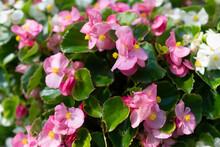 Pink Begonia Flowers Close Up