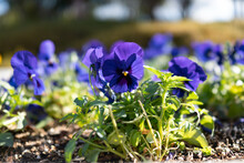 Blue And Purple Pansy Flowers And Plants Planted In The Flowerbed