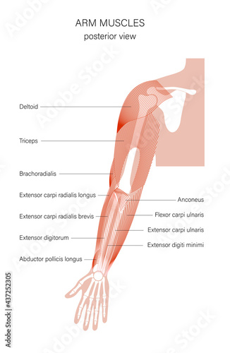 Fotografia Muscular system arms