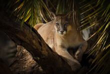 Cougar Or Mountain Lion (Puma Concolor) Facing The Camera. Magnificent Light Panther Portrait.
