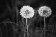 Dandelion Flowers With Fluffy Seed Heads