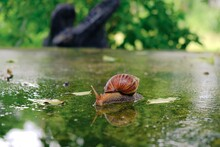 Big Snail Gliding On The Wet Floor In The Summer Garden. Large Mollusk Snails With Light Brown Striped Shell, Crawling On Moss.