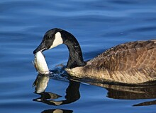 Goose With Fish