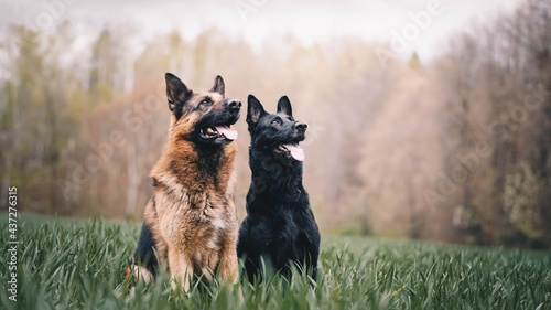 Fotografie, Obraz german shepherd dog