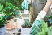 Gardener, Summer Hand Of Woman Spraying, Watering Plant Cacti, Cactus In Ceramic Pot, Water By Spray Bottle On Wooden Table, Take Care In Home Garden. Hobby Of Plant, Gardening Or Houseplant Indoor.