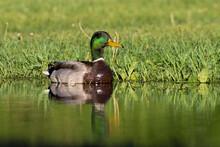 Mallard Hen With Babies In Spring