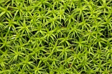 Leaves Of The Moss Polytrichum Formosum