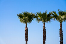 The Tops Of Three Tall Fan Palms Against The Blue Sky. Copy Space.
