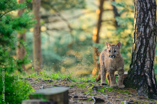 The cougar (Puma concolor) in the forest at sunrise. Young beast. Fotobehang