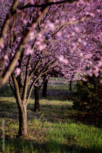 Pink Spring Cherry Tree in the Garden Fotobehang
