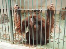 Sad Orangutan Behind Bars. Orangutans, Orang Utan - Forest Man, Pongo - Genus Of Arboreal Apes, One Of The Closest To Humans In DNA Homology