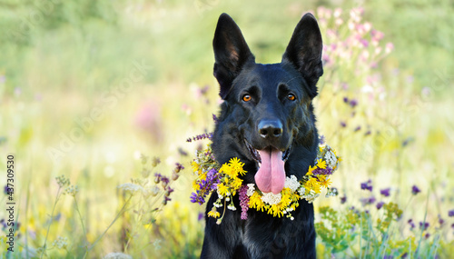 Obraz na plátně Wide picture with a black shepherd dog with a floral wreath collar