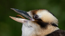 Laughing Kookaburra Eating An Insect