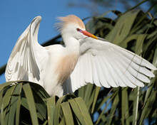 A Cattle Egret Flapping His Wings