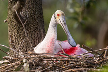Roseate Spoonbill On The Nest