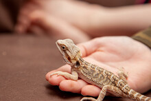 A Small Young Bearded Dragon On Someone's Hand