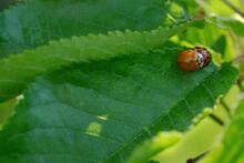 Ladybirds Mating On Leaf