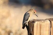 Gila Woodpecker On Post