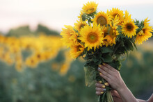 Sunflower Flowers In Women's Hands. A Bouquet Of Yellow Summer Flowers. Close-up. Copy Space