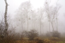 霧に霞むヤドリギをつけた白樺の林
