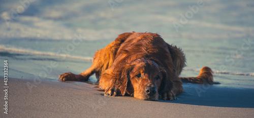 Fotografiet Golden Retriever Playing at the Beach