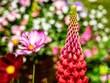 Leinwandbild Motiv Lupin Flower