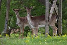 Selective Focus Of Two Deer In The Wild