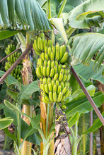 Banana Farm With A Bunch Of Green Ripening Bananas At The Tree On A Agricultural Farm Household.