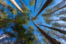 Crown Of Tree Tops Against The Blue Sky, View From Below