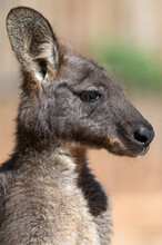 The Closed-up Kangaroo Outdoor Portrait