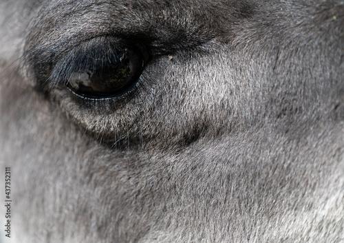 Fototapeta premium closeup of an alpaca eye