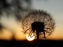 Dandelion. Photographed Against The Setting Sun