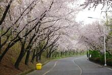 South Korea, Busan, Hwangryung Mountain, Cherry Blossoms Tunnel, 한국, 부산, 황령산, 벚꽃 터널, 봄꽃