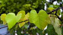 Young Leaves Of Grapes On Spring Nature.