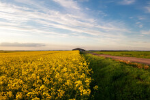 The Border Of A Yellow Rapeseed Field Abutting A Large Barn Against A Blue Sky.