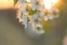 Fiori Bianchi Al Tramonto In Primavera