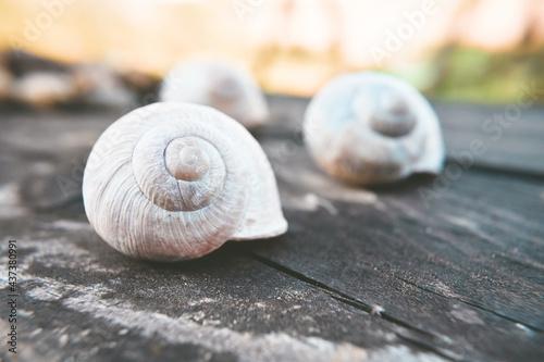 pusta muszla ślimaka
