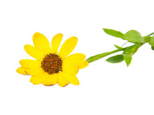 Bright Beautiful Yellow Osteospermum African Daisy Isolated On The White Background